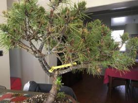 wit op Pinus sylvestris