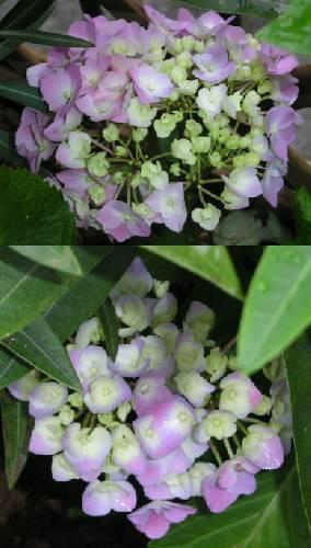Witte hortensia
