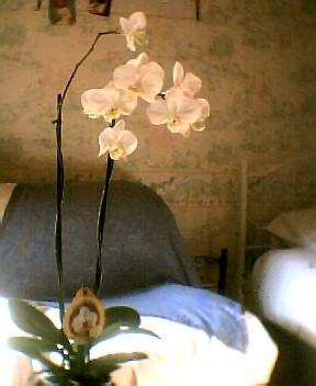 Vele vragen phalaenopsis.