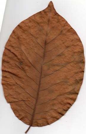 Weet iemand van welke boom dit blad afkomstig is?