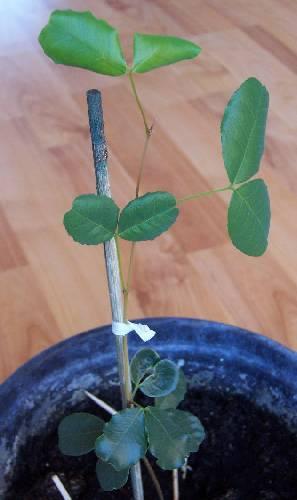 Wie weet welk plantje dit is?
