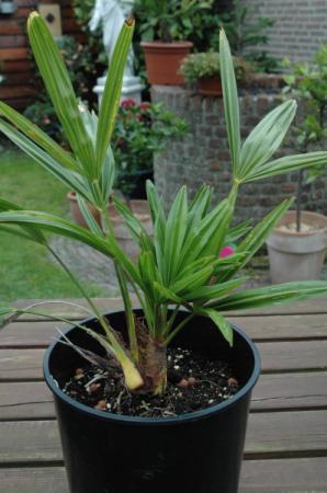 Trachycarpus takil en fortunei