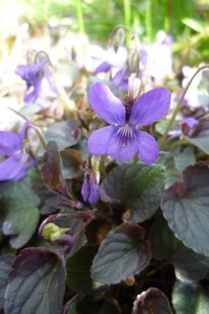 3 viooltjes