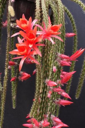 Aporocactus.