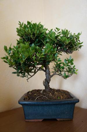 Welke bonsai is dit?