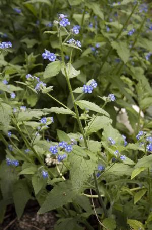 Wie herkent deze plant (onkruid met blauwe bloem)?