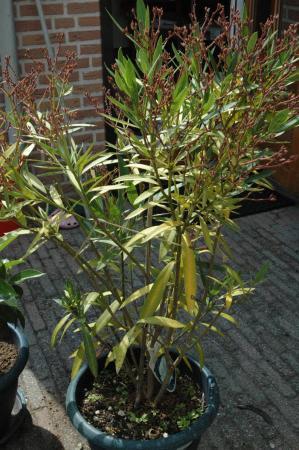 Oleander wordt geel
