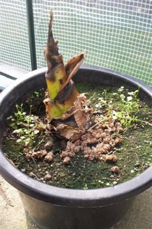 Banaanplant kapot