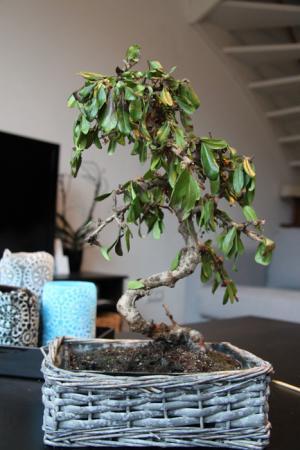 Slappe bladeren van mijn Bonsai