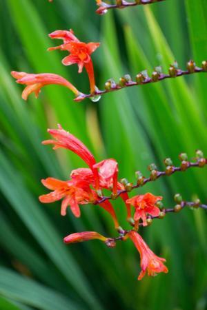 Rode bloem uit schotland