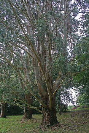 2x Eucalyptus