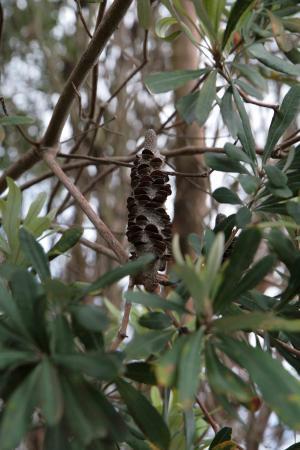 boom/struik met kegel van de Azoren