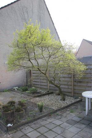 Hoe heet deze boom en snoeiadvies?