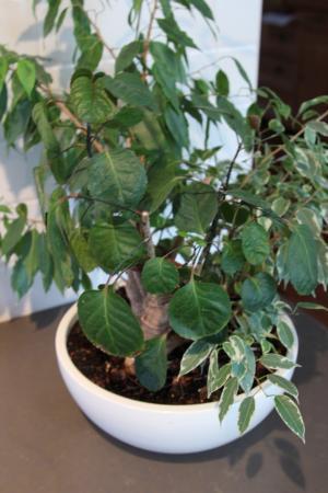 tjsa, welke plant, en hoe verzorgen?