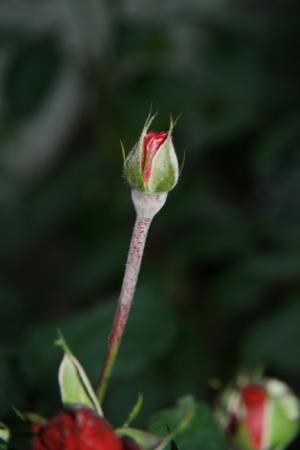 Roos, witte uitslag onder knop