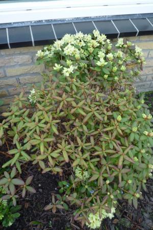 rododendron verpietert