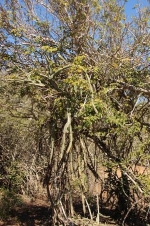 Klimmende Euphorbia (?)