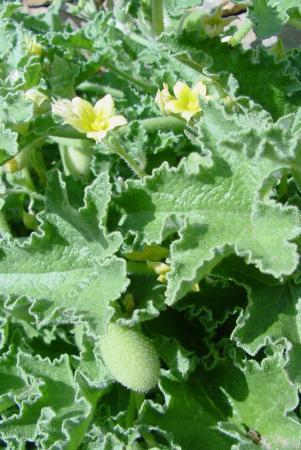 Plant van Kreta
