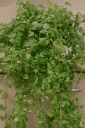 Hoe heet dit kamerplantje?