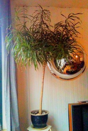 Welk soort is dit klein boompje en hoe te snoeien?