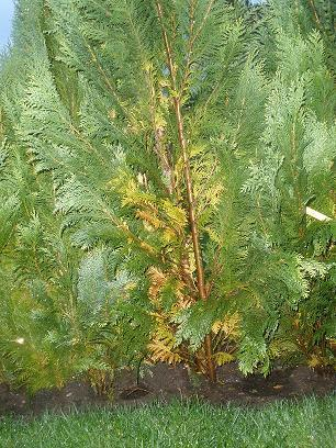 coniferen,Chamaecyparis lawsoniana White Spot