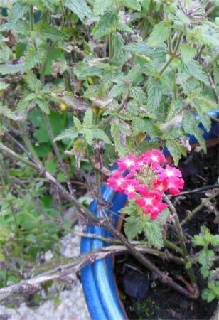 Plezierig eenjarig plantje