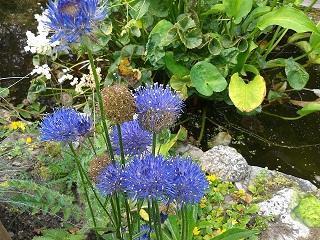 naam blauw bloemetje ? Jasione montana