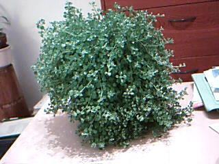 Welke hangplant is dit?