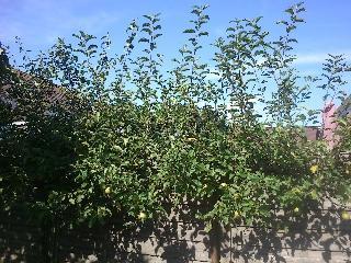 Appelbomen bijknippen