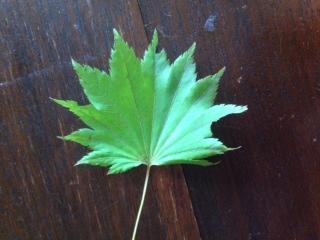 Van welke boom / struik is dit blad?