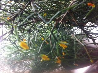 een lid vetplant die nu in bloei staat