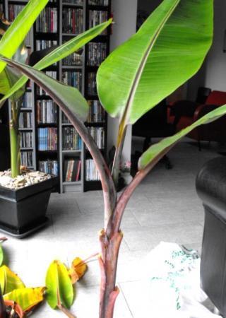 Nieuwe aanwinsten bananen maar welke?