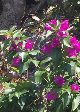 Wie kent deze bloem uit de mediterranee