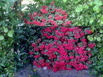 Wie herkent deze struik en bloem
