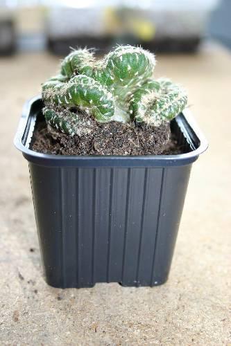 Welke cactus is dit