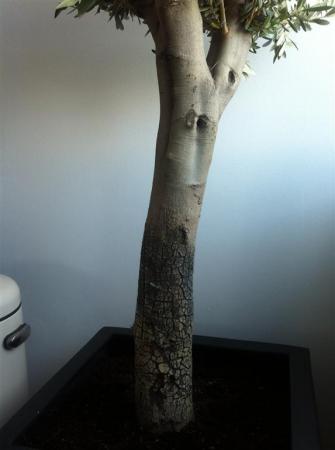 Olijfboom met witte/zwart  gebarsten bast  schors