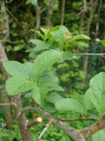 Onbekende (fruit?)boom in onze tuin
