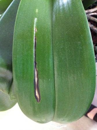 Bruine lijnen en vlekjes op orchideeblad