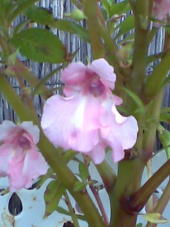 Onbekende plant tussen de Oregano