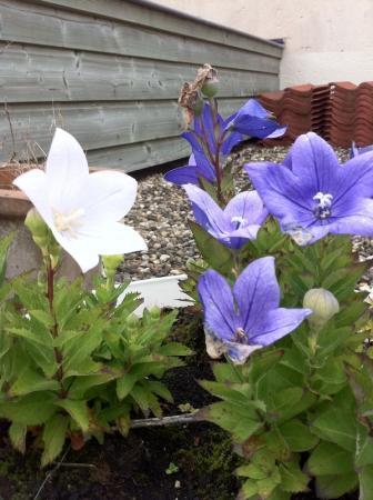 Plant of onkruid? Paarse en witte bloemen