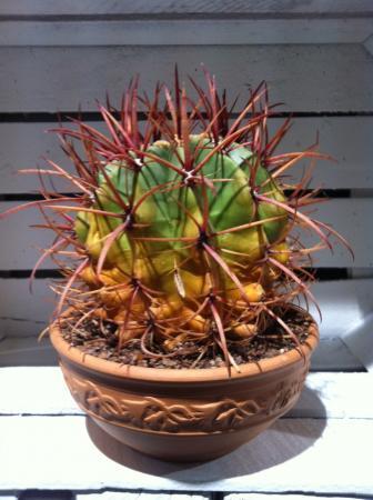 Cactus wordt geel maar is toch hard?