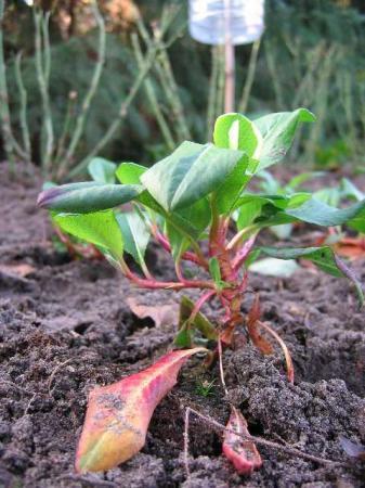 welke vaste plant bodembedekker