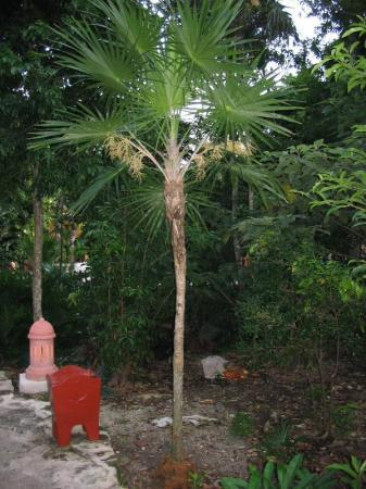 palmboom Mexico