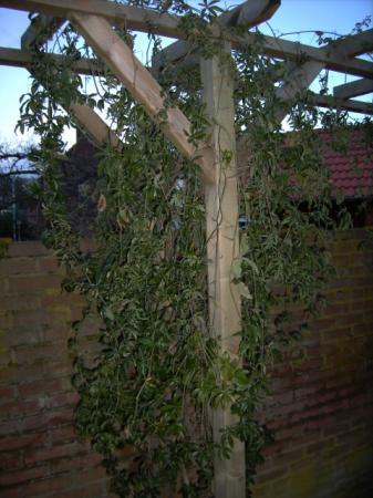 passiflora snoeien