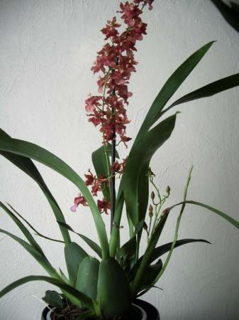 Naam van deze orchideeên