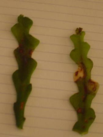 Weefselrot bij epiphyllum