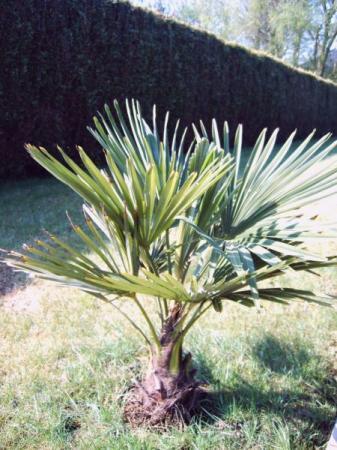 Welke palm is dit ?