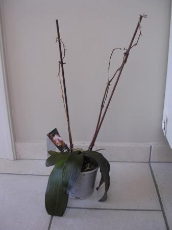 Valt deze Phalaenopsis  nog te redden?