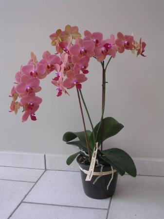 Foto's van mijn nieuwste phalaenopsis