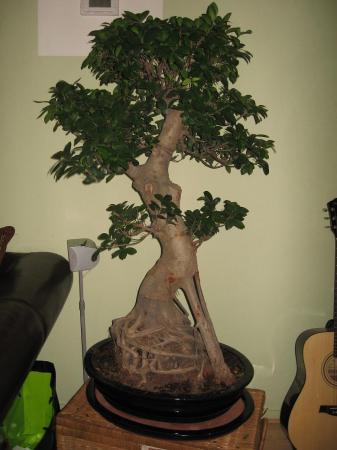 Mijn bonsai boom valt uit!